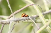ladybeetles and aphids